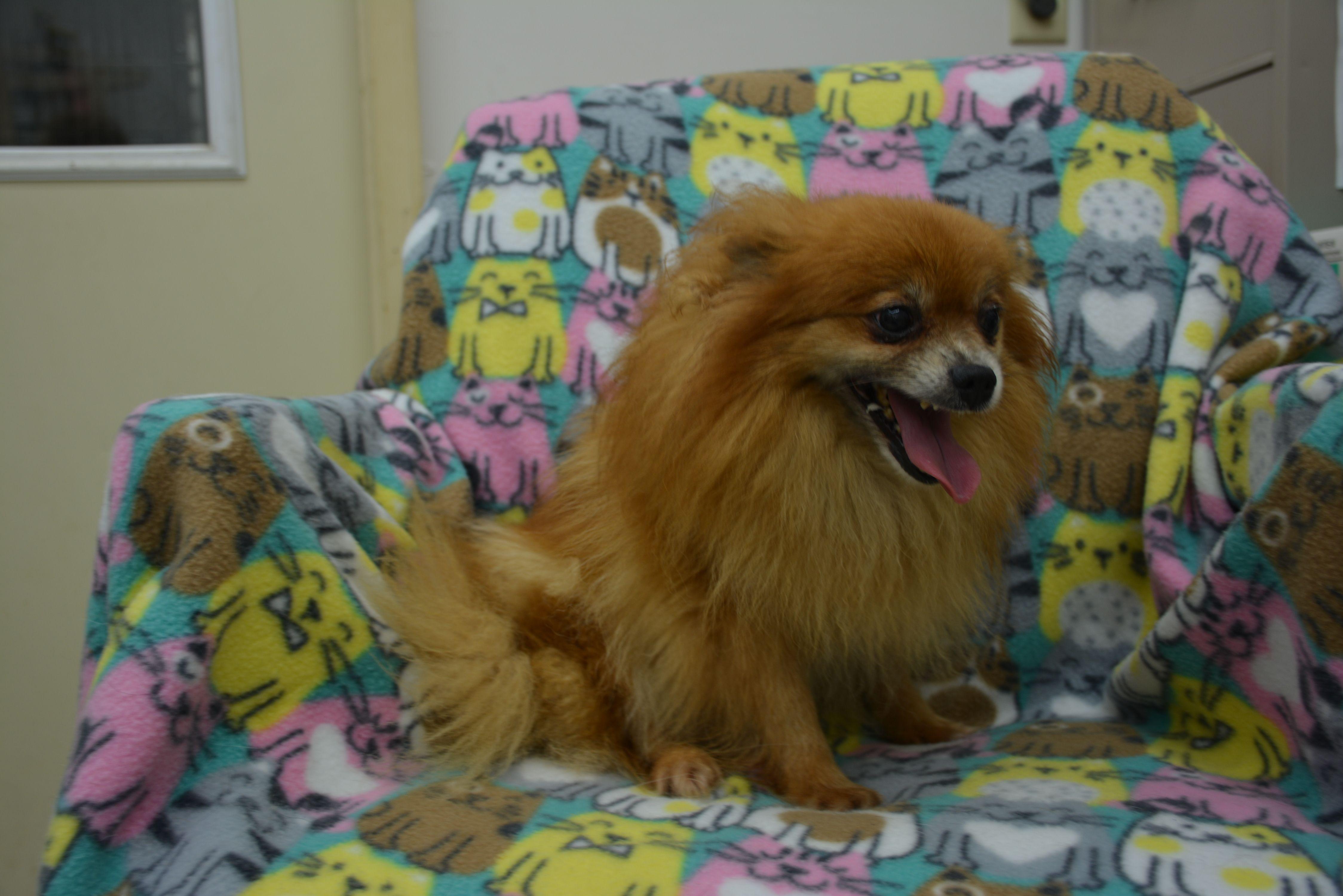 Adopt Maggie on Petfinder Humane society, Pomeranian mix