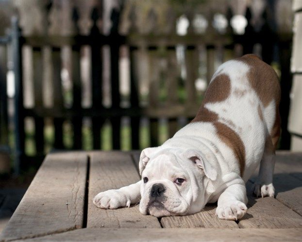 Typical English Bulldog I Wanna Play Stance Welpenzucht