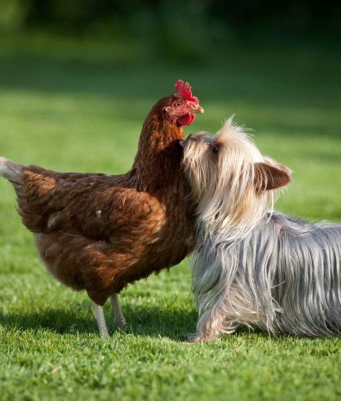 la poule et le Yorkshire Terrier, comment choisir son chien