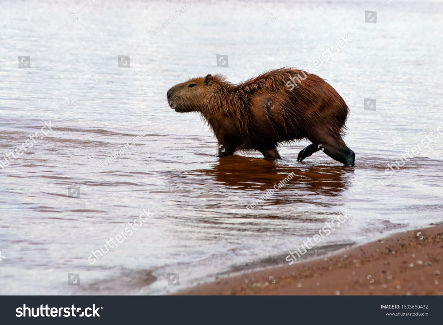 The lonely capybara entering Lake Parano¨¢ in Brasilia, Brazil. The capybara is the largest rodent in the world. Species Hydrochoerus hydrochaeris. Wildlife. Cerrado. #Ad , #AD, #Parano#Brasilia#Brazil#Lake