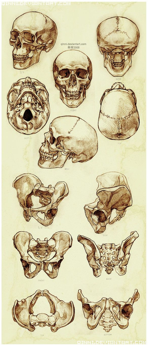 ☆ Skull and Pelvis Study :¦: By Artist Qing Han ☆ | anatomy ...