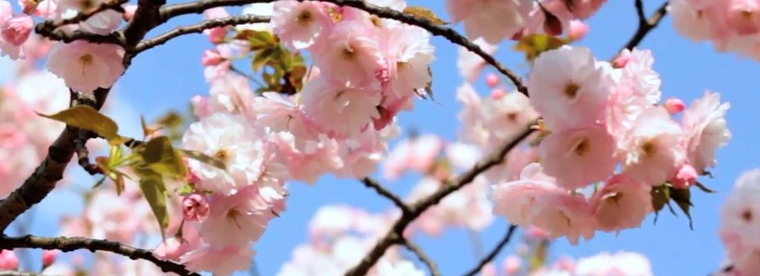 Gambar Bunga Sakura Hd 5 Tempat Melihat Bunga Sakura Di Indonesia Gak Kalah Cantik Sama Bunga Sakura Segera Wallpaper Musim Semi Gambar Bunga Bunga Sakura