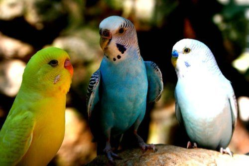 I love parakeets. Happy little creatures. Have had several.