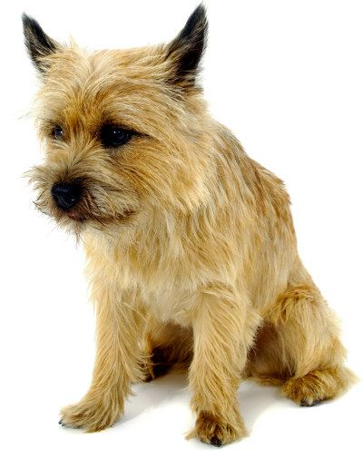 Cairn Terrier A Toto Ly Awesome Dog Breed Cairn Terrier Dog