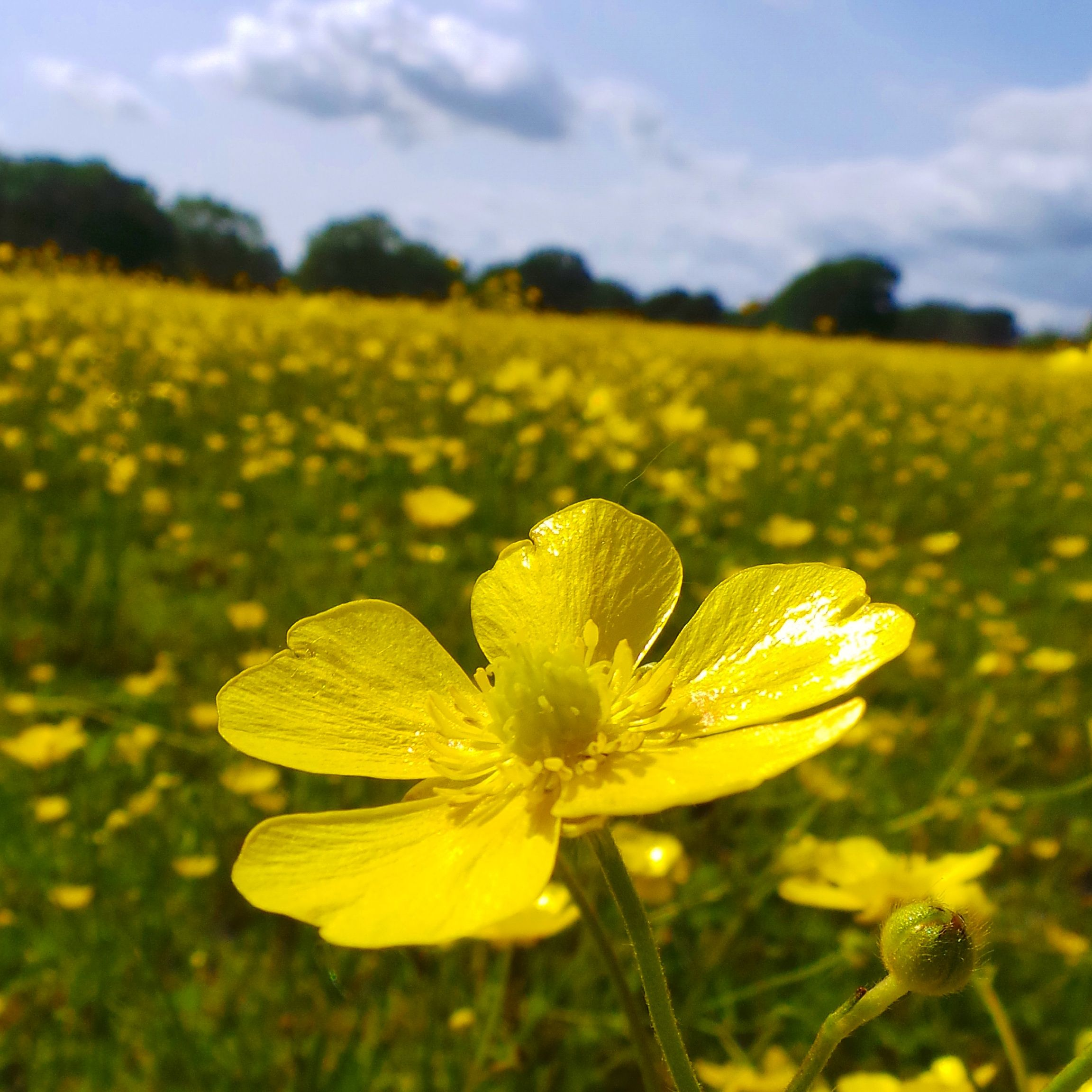 A single buttercup during my South Downs cycle in Sussex.. #view #nature #buttercup #southeast #greenfield #seeds #bright #contrast #summer #flowers #southdowns #nationaltrust #landscape #landmark #fields #agriculture #england #sussex #beautyspot #clouds #cloudscape #sky #bluesky