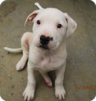 Lincolndale Ny American Bulldog English Setter Mix Meet Jillian A Puppy For Adoption Puppy Adoption American Bulldog Kitten Adoption