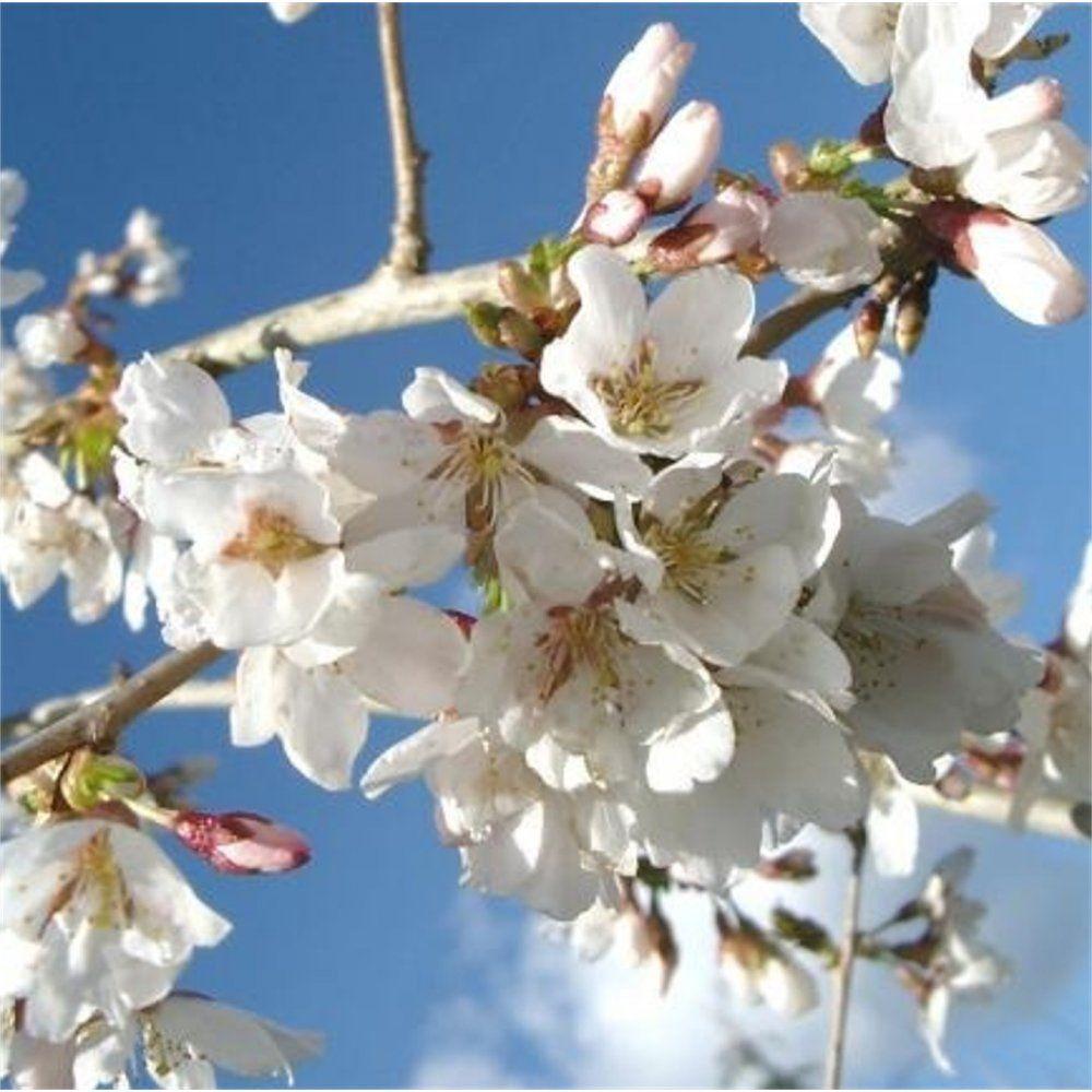 Weeping Prunus Falling Snow Google Search Ornamental Cherry Weeping Cherry Tree Weeping Trees