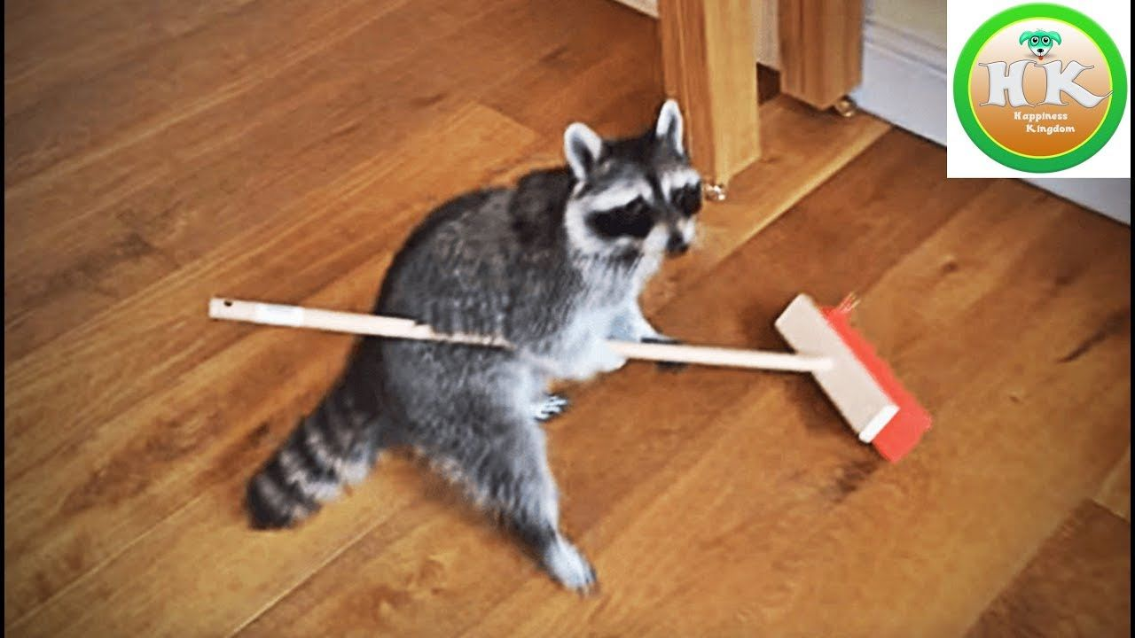 Funny Raccoons You Never Seen Like This Happiness Kingdom Raccoon Funny Cute Raccoon Clever Animals
