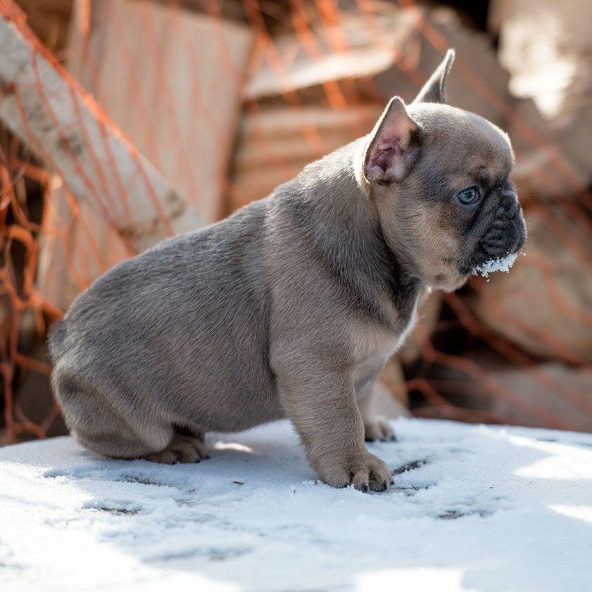 Pin By Lilya Nizhnik On Swetty French Bulldogs French Bulldog