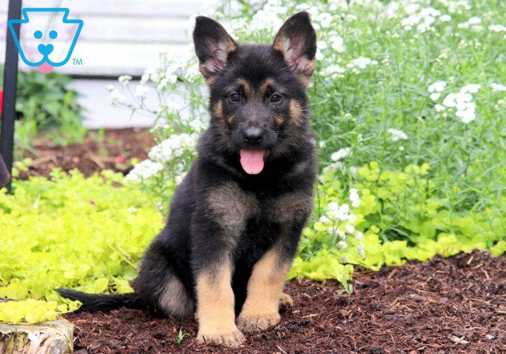 Fancy German Shepherd Puppy For Sale Keystone Puppies German
