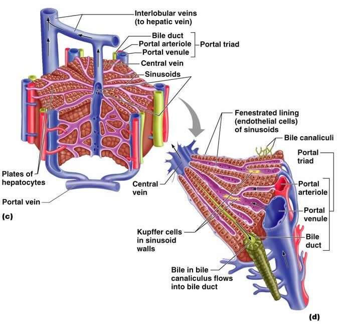 The Digestive System Histologia Pinterest