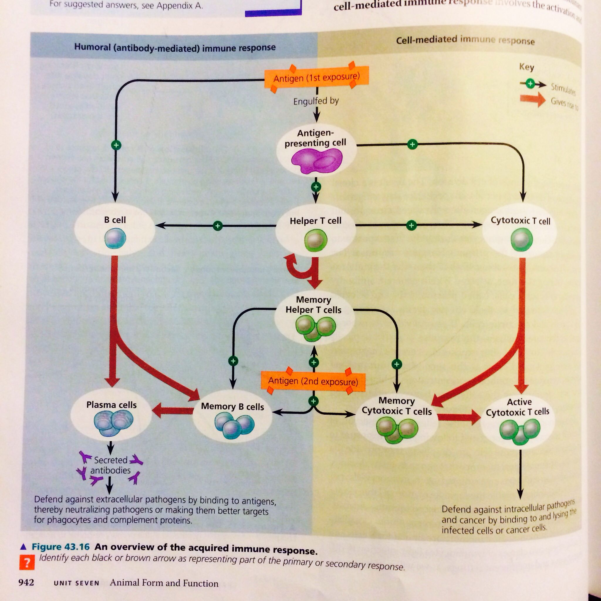 Overview Of Acquired Immune System Campbell Biology Ch 43