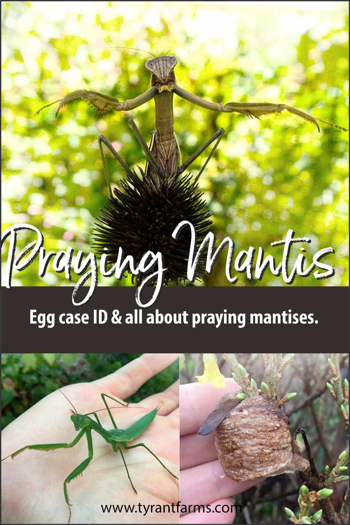 Praying Mantis Egg Case Identification And All About Praying
