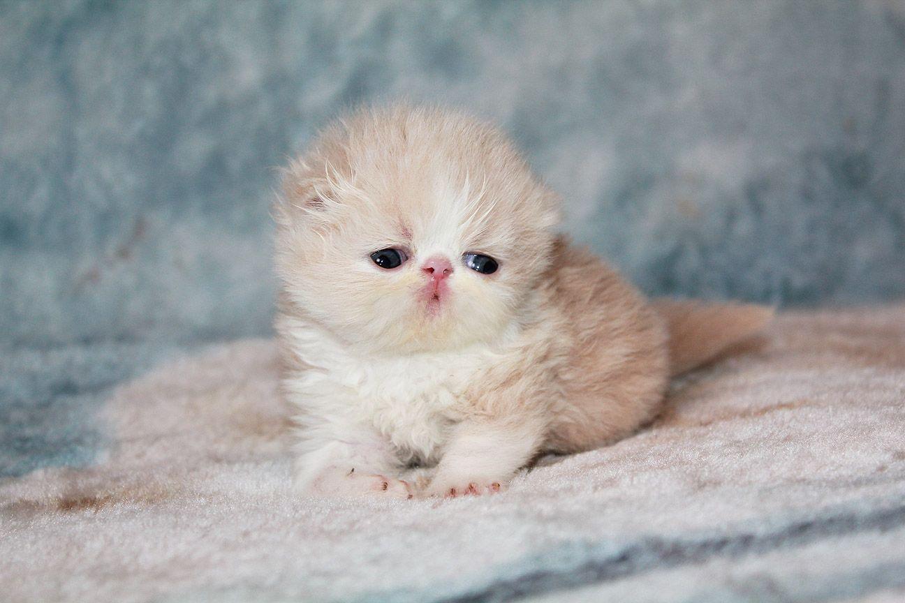 Alfenloch Silver N Gold Cream White Male Persian Kitten Persian Kittens Cats Kitten Images