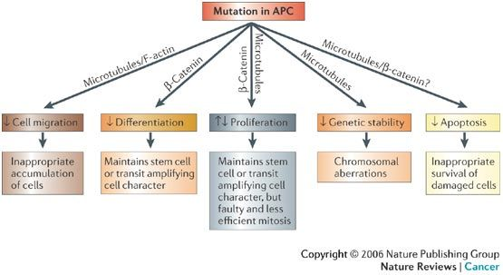 Consequence Of Apc Mutation Colon Cancer Mutation Cancer