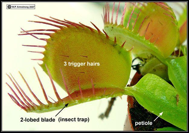 Venus flytrap plants ideas for them pinterest venus flytrap venus flytrap ccuart Choice Image