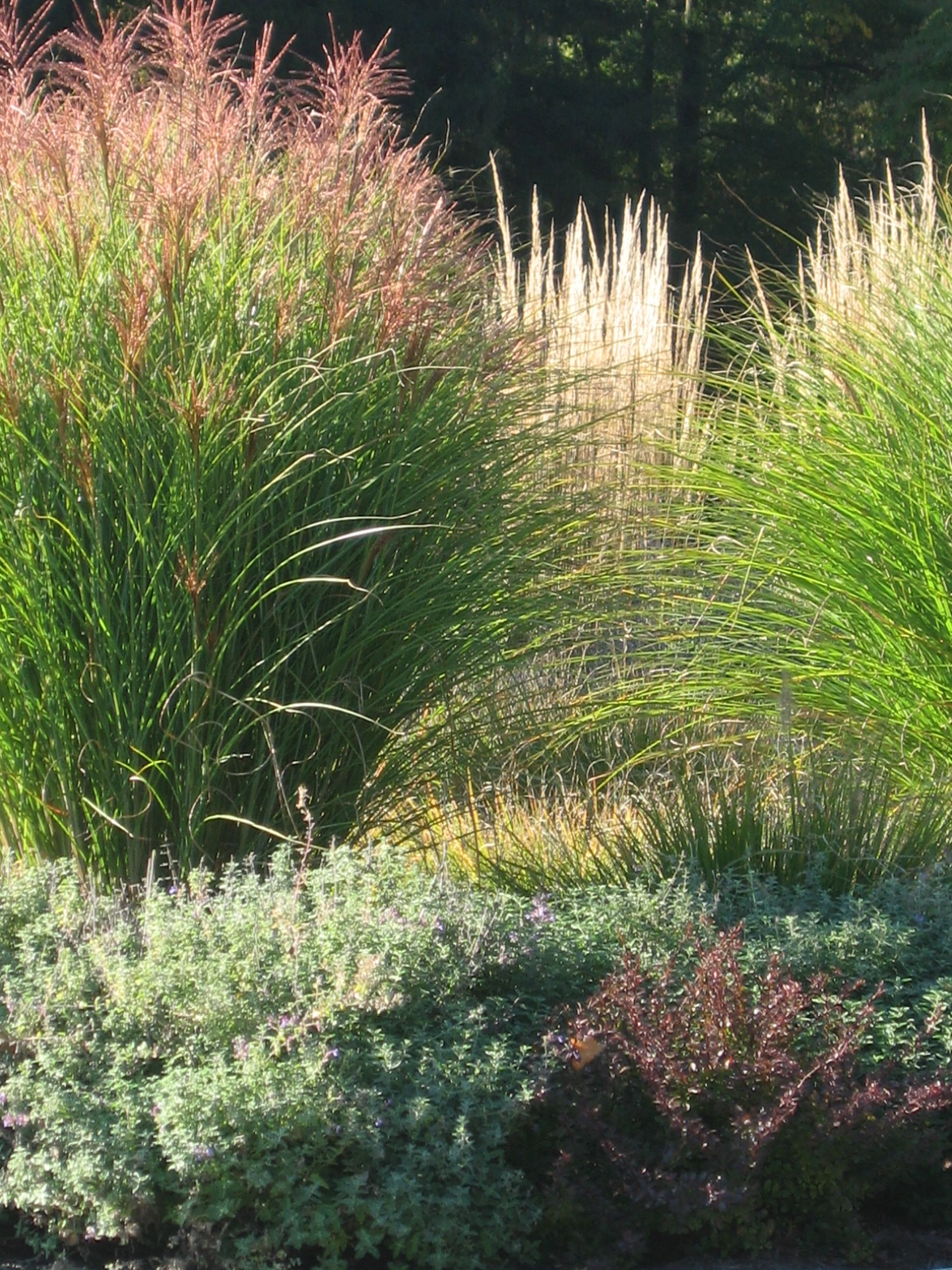 Miscanthus And Calamagrostis Lawn And Garden Ornamental Grasses Landscape