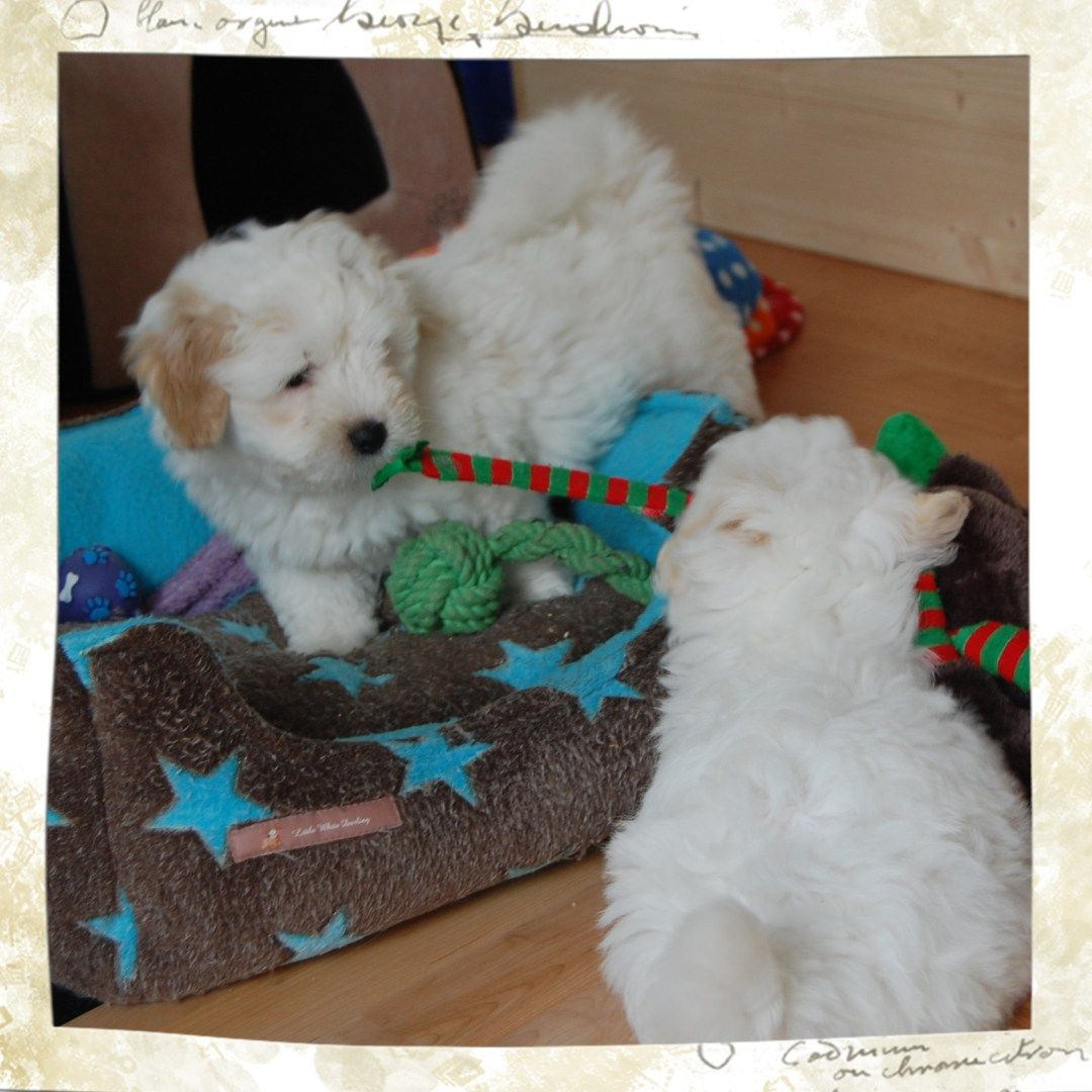 Aktuelles Little White Darling Aktuelles, Hunde