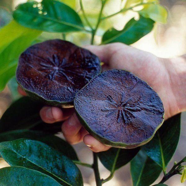 Mudas de Sapota preta ou Fruta Pudim de Chocolate - Jardim Exótico - O maior portal de mudas do Brasil.
