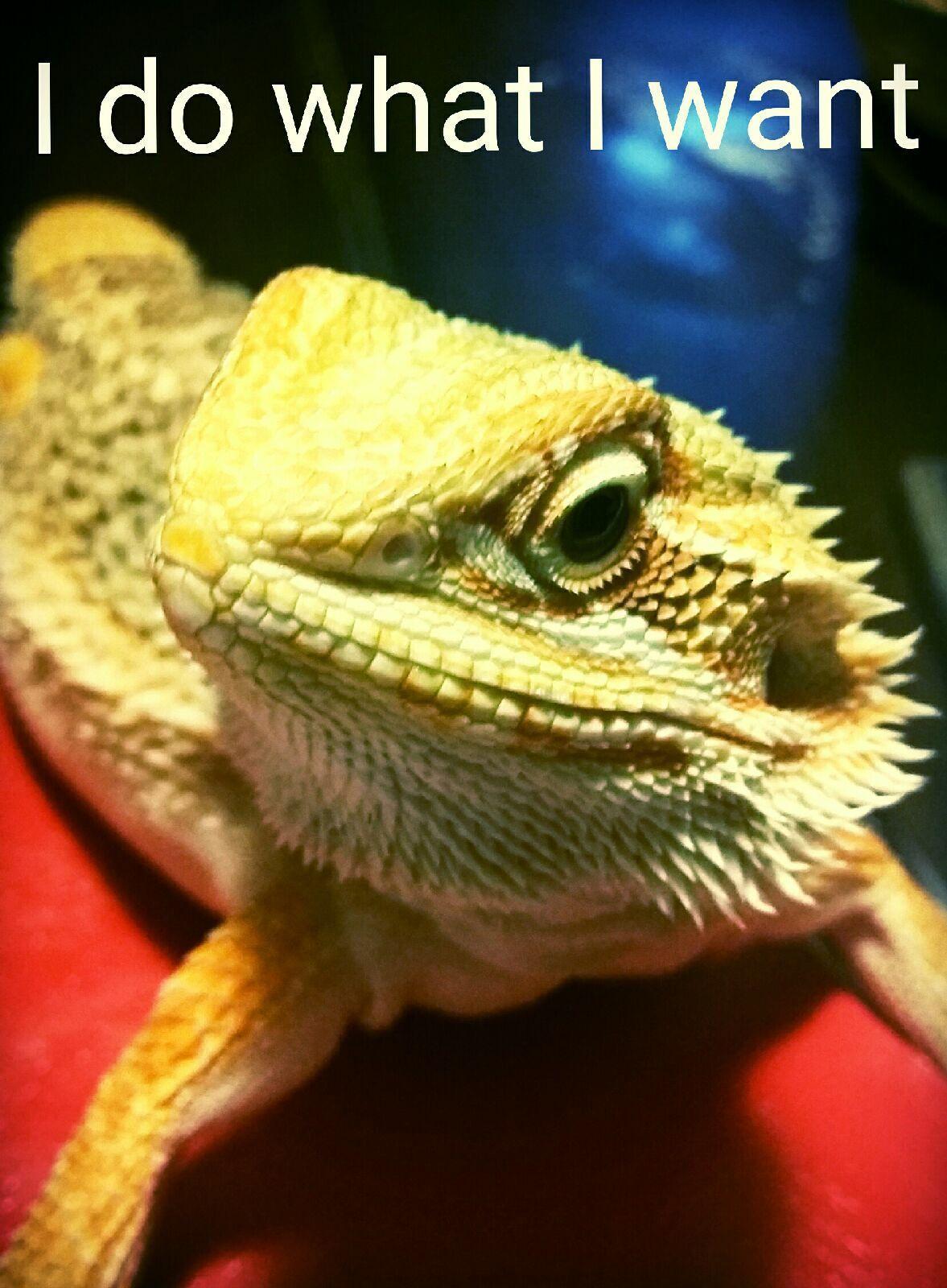 I Do What I Want Bearded Dragon Attitude Sassy Pets Lizard