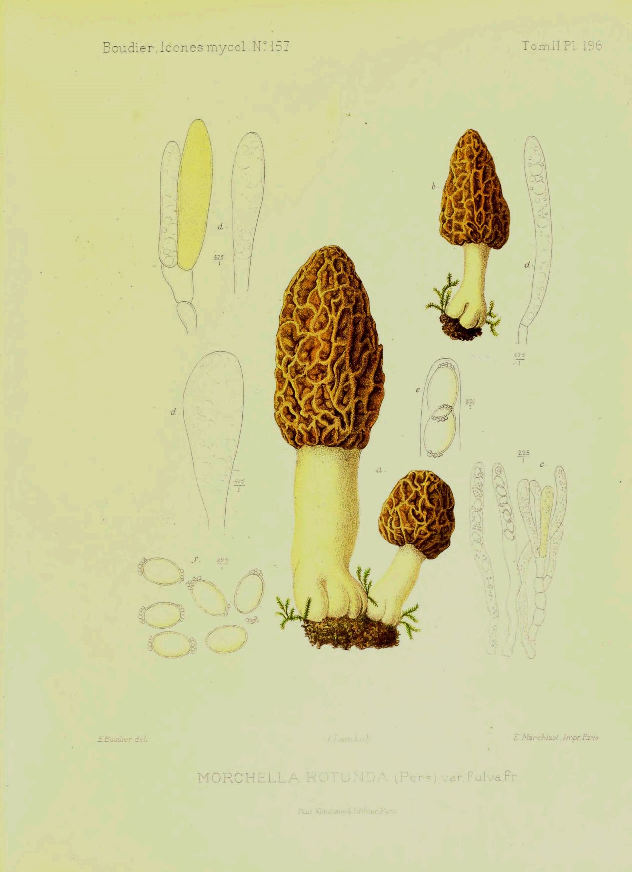 "wapiti3 "" Mycologicæ icons or iconography fungi mainly"