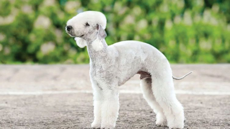 30 Small Hypoallergenic Dogs That Don T Shed Dog Breeds That Dont Shed Rare Dog Breeds Dog Breeds