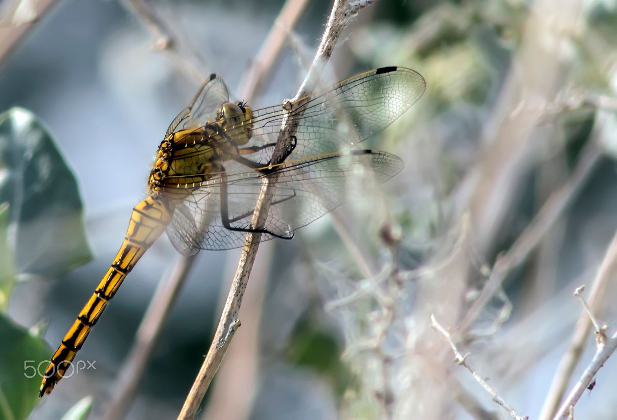 Dragon fly - Libélula tigre
