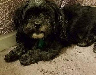 Shih Tzu Poodle Miniature Mix Dog For Adoption In Cincinnati