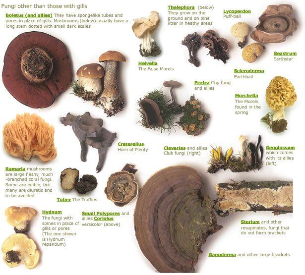 Mushroom genera - without gills #fungi | Nature Study | Pinterest ...