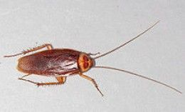 10 ways to keep roaches out of the house bugs and other critters b gone insects palmetto. Black Bedroom Furniture Sets. Home Design Ideas