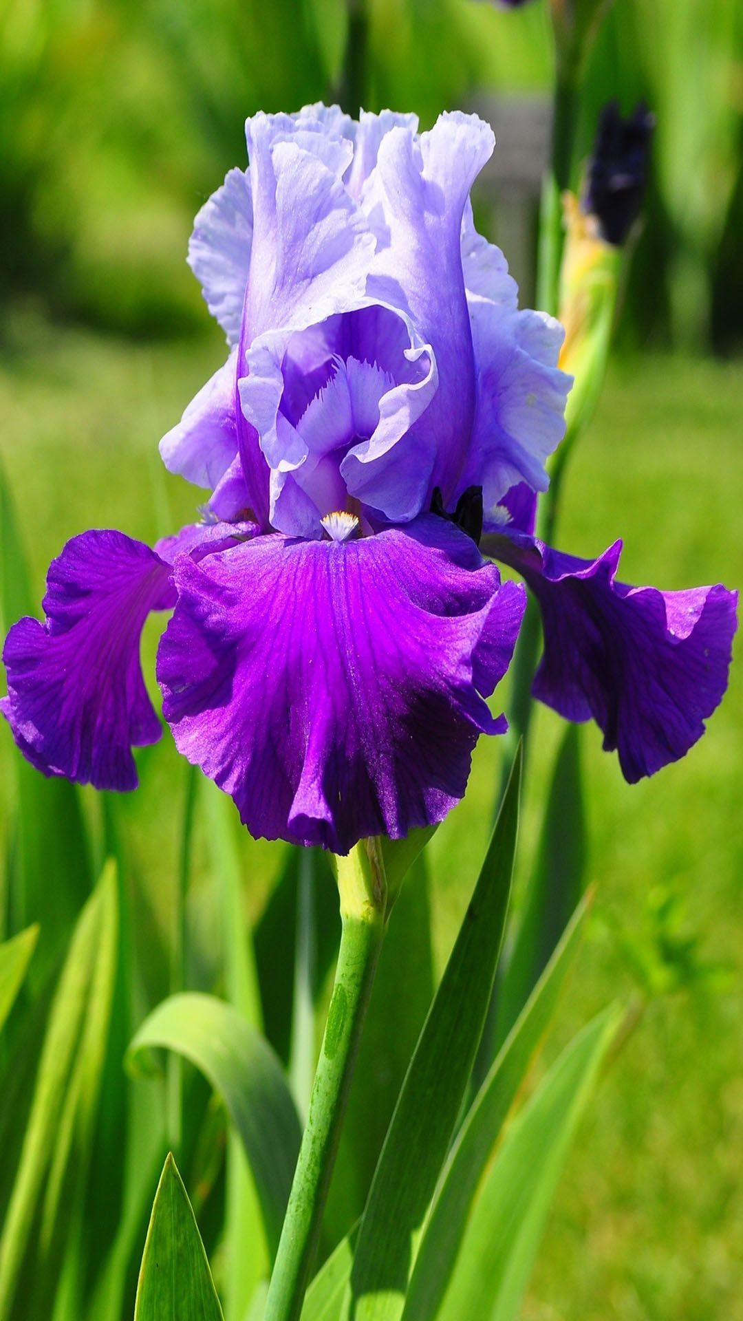 Violet Iris Flower 1080x1920 Birth Flowers Pinterest Iris