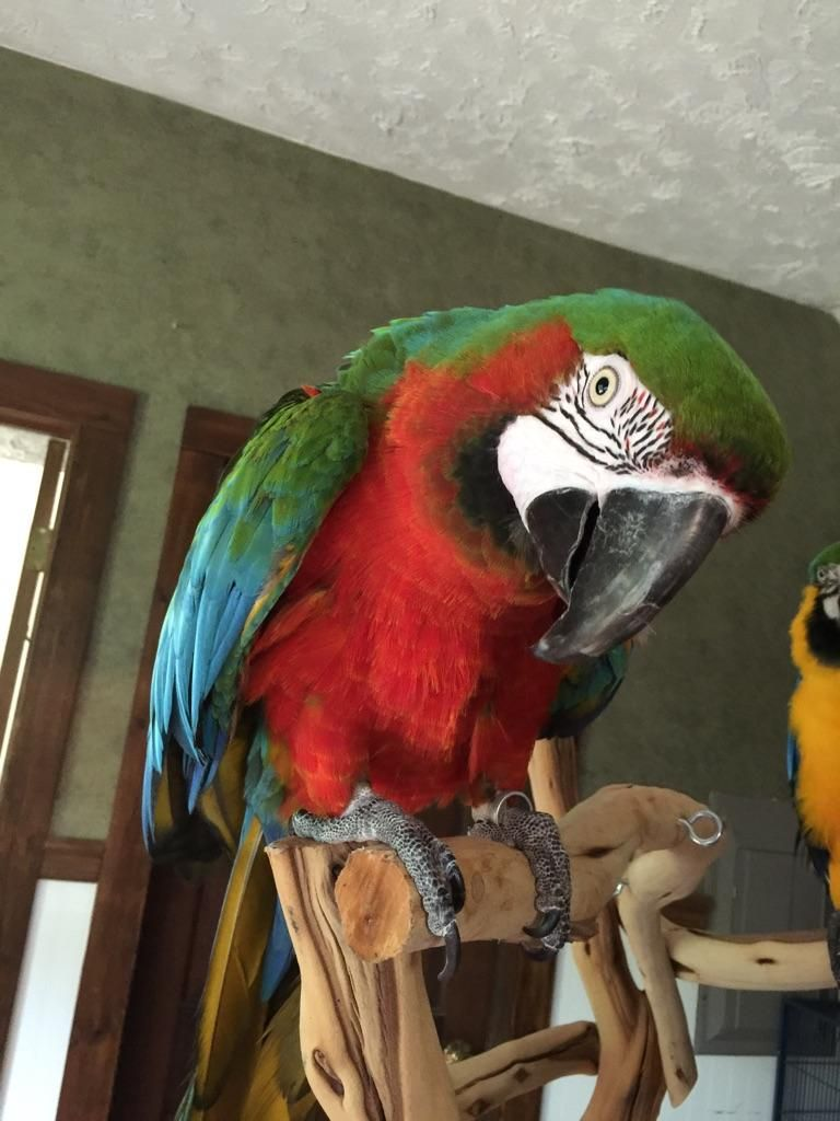 Adopt Harlequin Macaw on Parrot, Parrot rescue, Parrot toys