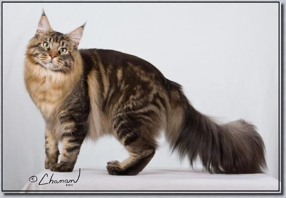 Ghim Tren Maine Coon Cats