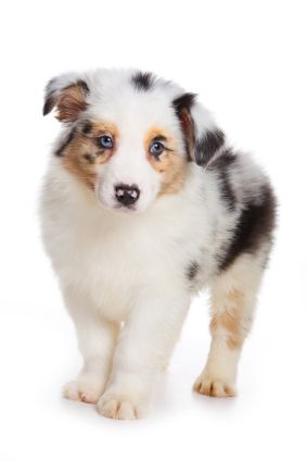 Boy Dog Names Cute Naming Ideas For Your Male Puppy Boy Dog Names Australian Shepherd Puppy Cute Names For Dogs
