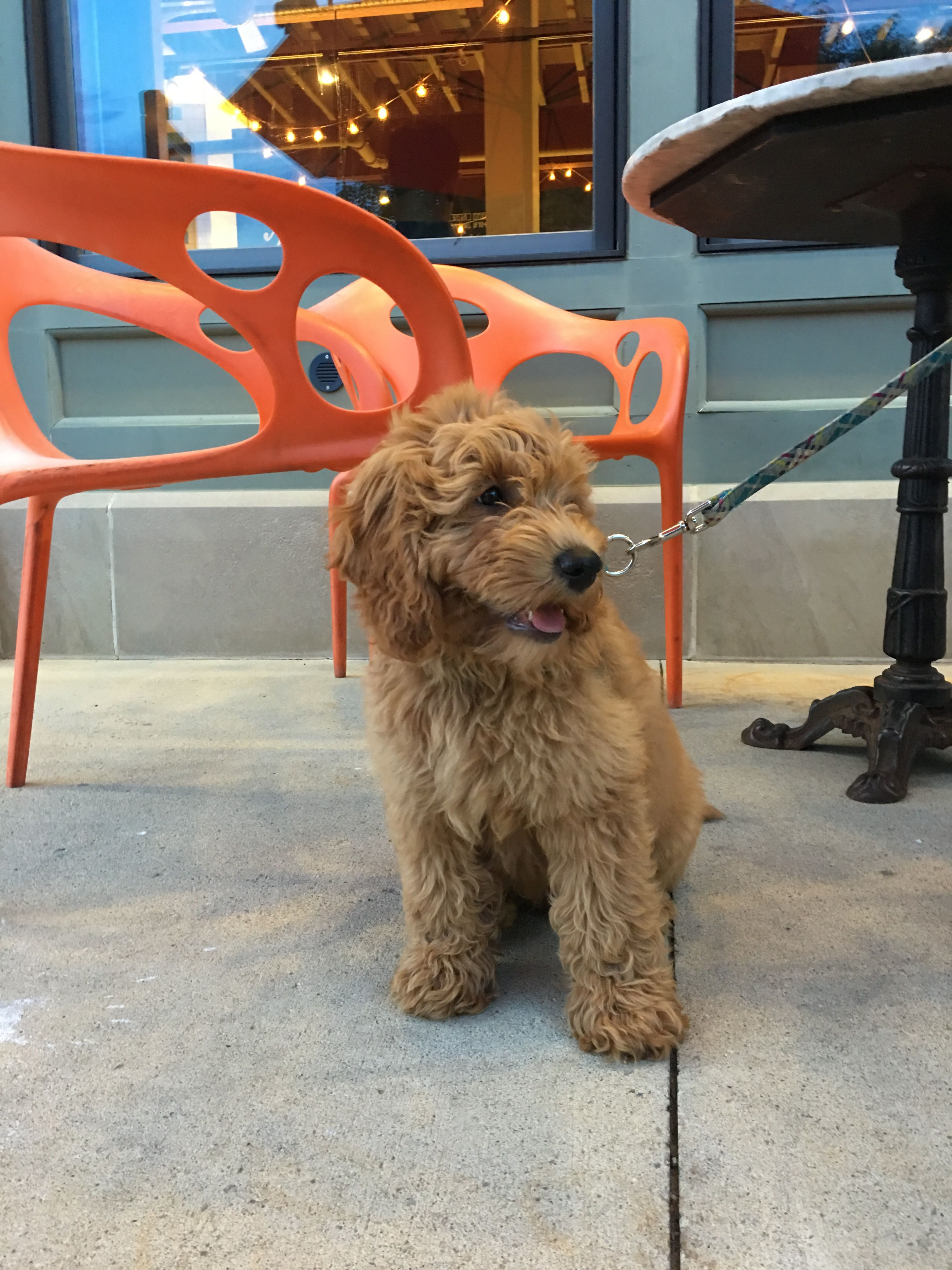 Royal Is Growing Up 3 Months Old F1b Goldendoodle Timberidge Goldendoodles
