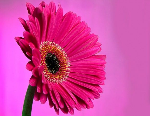 Beautiful Daisy Flowers Hd Wallpapers Free Download Daisy Flowers