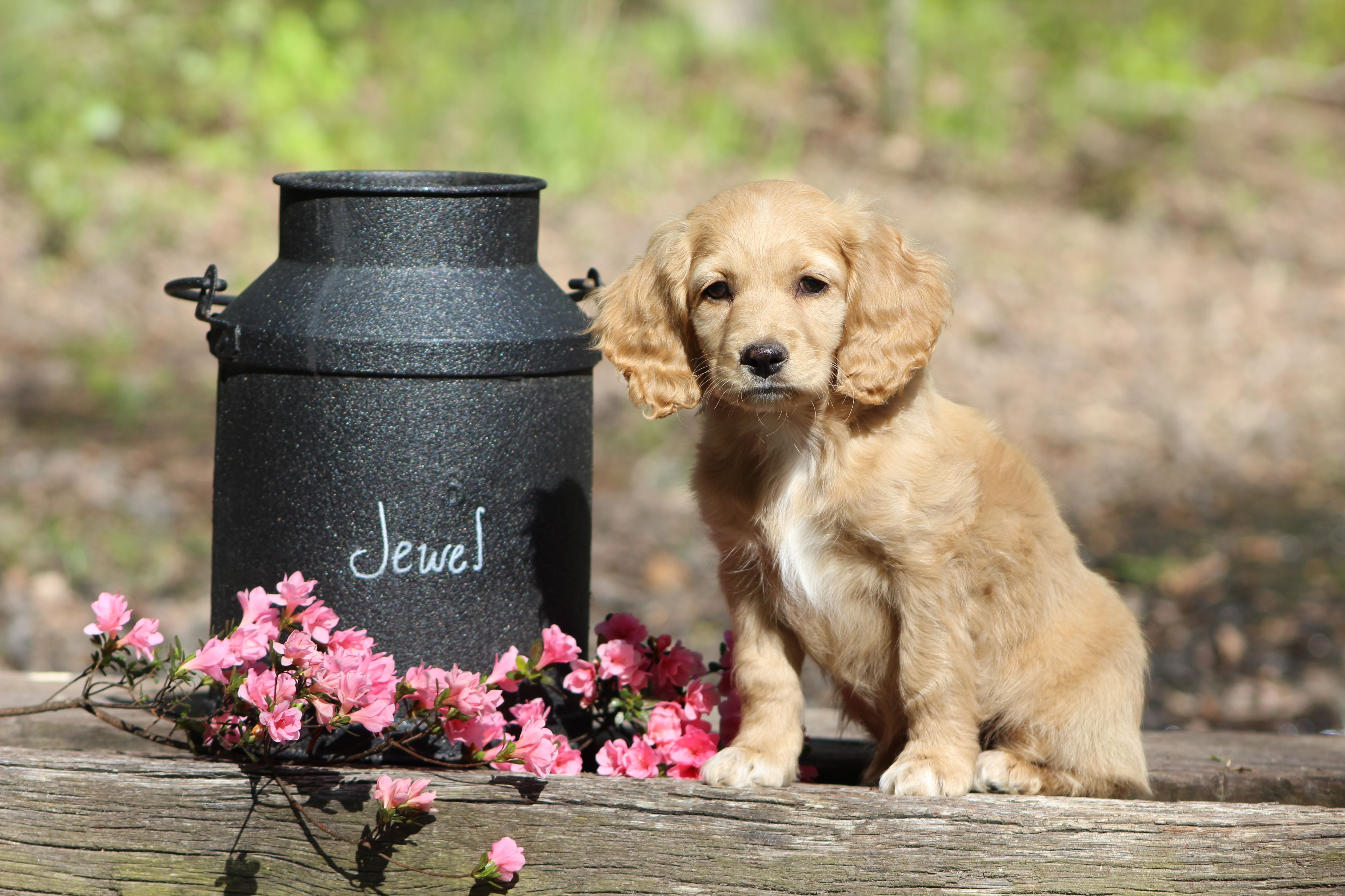 Meet Jewel Female Cockapoo Puppy For Sale In Virginia Beach Va
