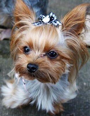 Sweet Baby Yorkie Yorkie Puppy Yorkie Cute Dogs