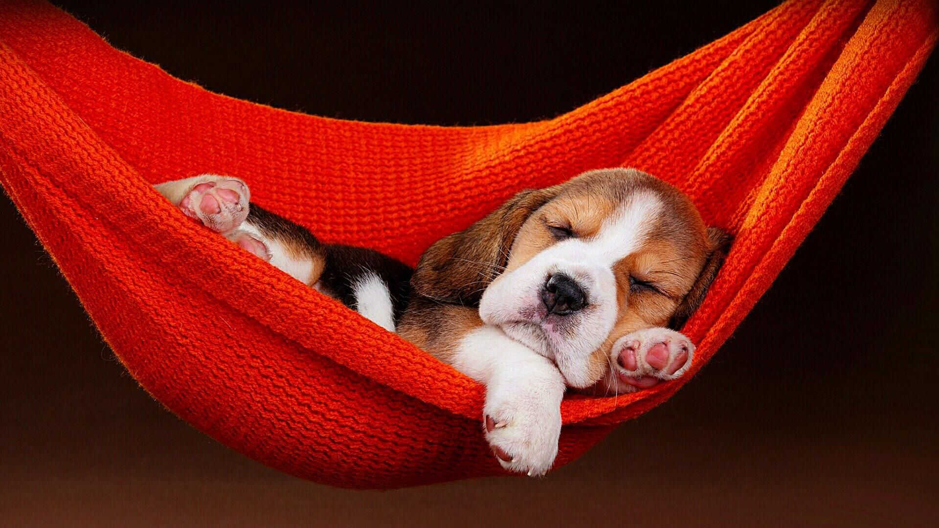 Cute Dog Wallpapers Desktop Mobile 46 Beagle Puppy Sleeping