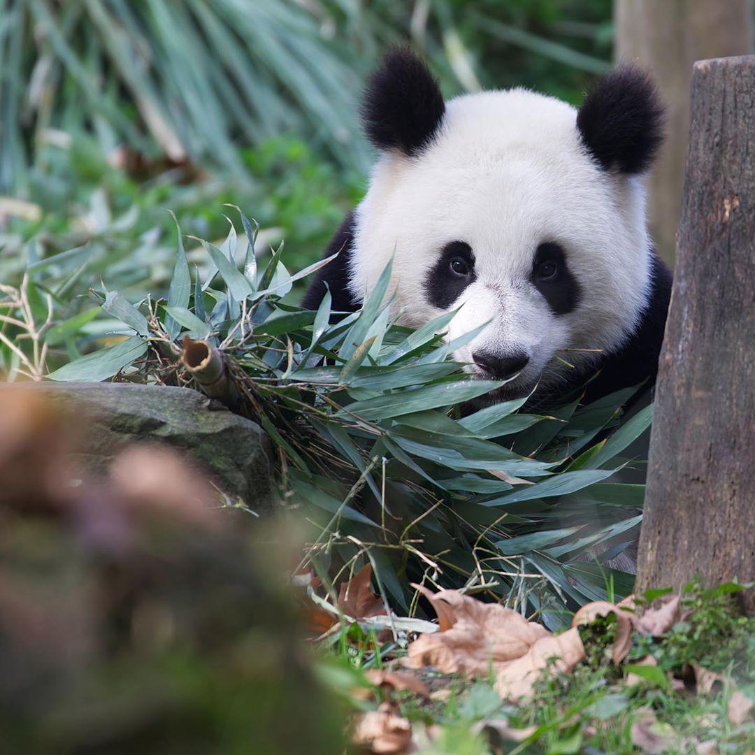 Panda life part 1  eating bamboo all day