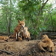 Red fox with kits at den;  Minnesota in wild.