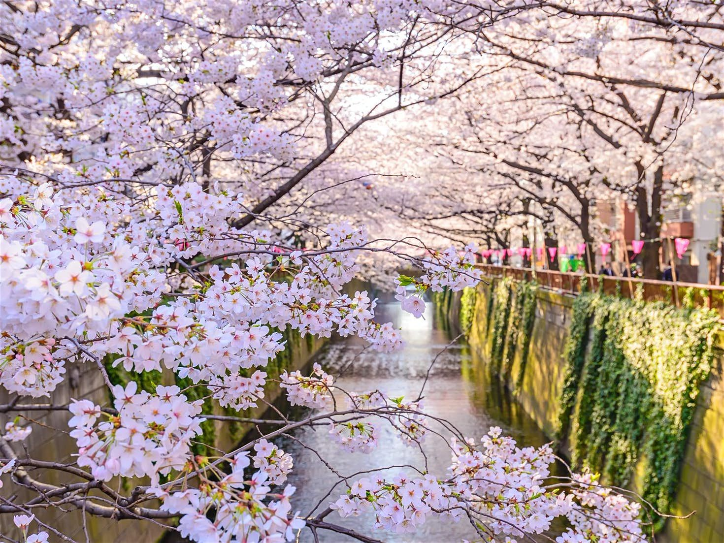Tokyo In Spring Best Things To See And Do Japan Travel Japan Japanese Flowers