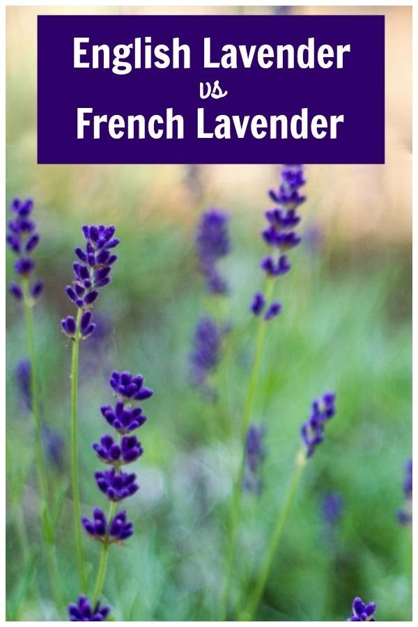 English Lavender vs French Lavender - Varieties and How to Grow #herbsgarden