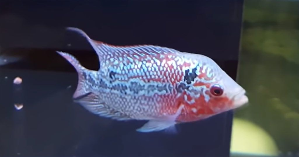 Where To Buy Flowerhorn Online Stuff To Buy Pet Store Cichlids