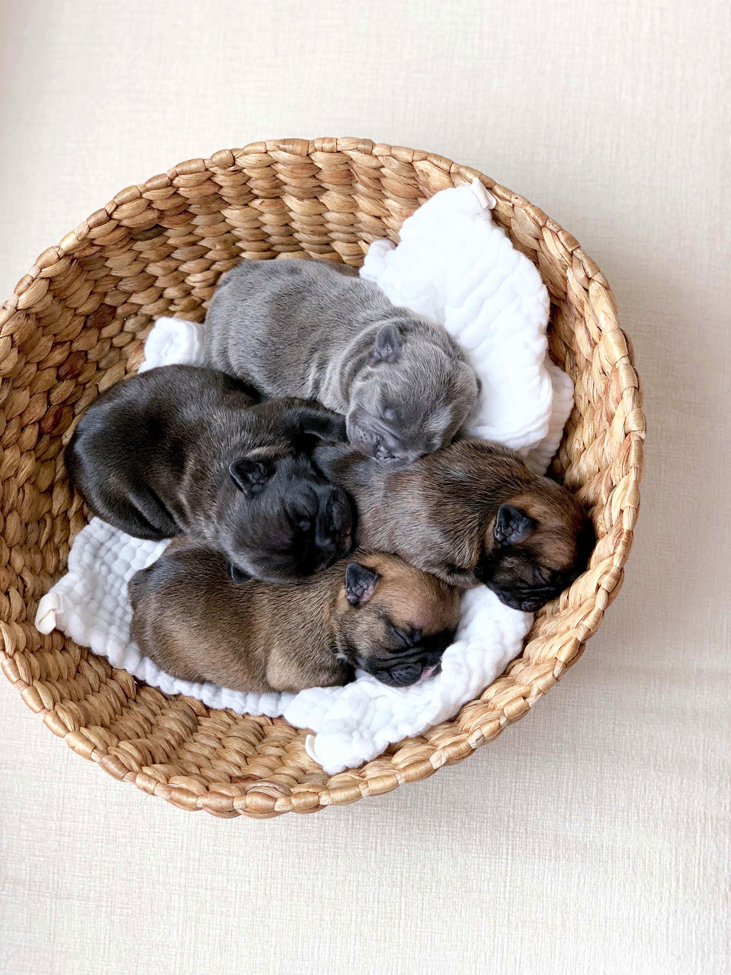 Basket O Frenchies French Bulldog Puppies French Bulldog Dog