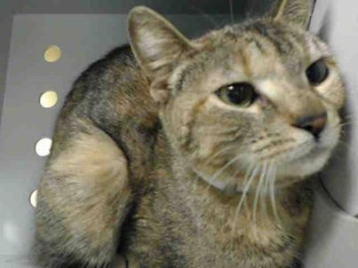 SAFE!! TO BE DESTROYED 2/24/14 * SAVANNAH needs to be sitting on someone's lap as they have a mint julep.....DON'T LET HER DIE.....PLEASE FOSTER OR ADOPT.. Brooklyn Center  My name is SAVANNAH. My Animal ID # is A0991808. I am a female torbie domestic sh mix. The shelter thinks I am about 2 YEARS I came in the shelter as a STRAY on 02/16/2014 from NY 11207.  https://www.facebook.com/PetsOnDeathRow/photos/a.576546742357162.1073741827.155925874419253/755516947793473/?type=1&relevant_count=1