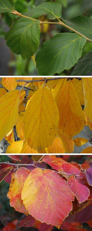 Les Hamamélis : des feuillages colorés à l'automne. 'Diane','Arnold Promise' & 'Ruby Glow'