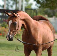 HB Arabians | Our Mares