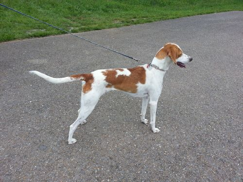 Treeing Walker Coonhound Greyhound Mix F Named Dixie In New