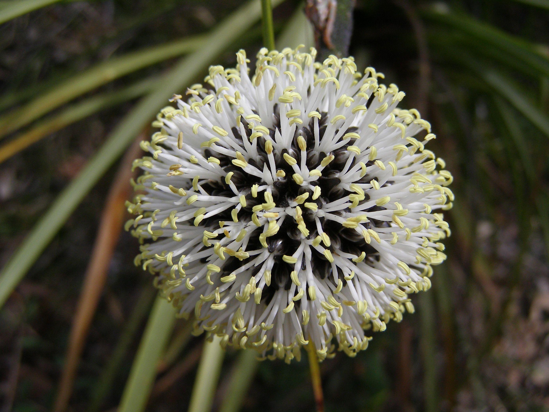 Native Black And White Wildflower Dunsborough Western Australia